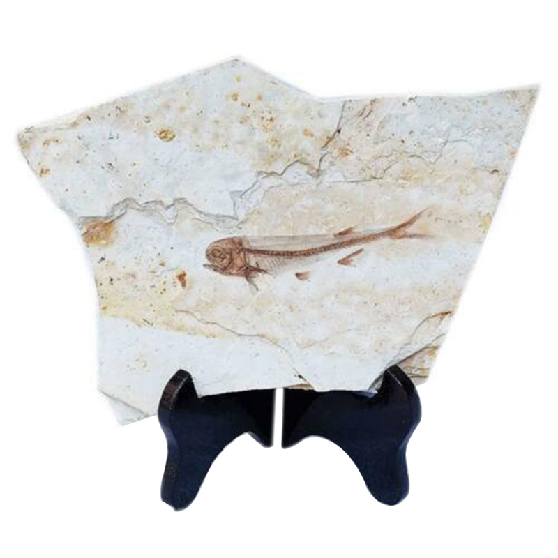 Fish Fossil Real From Western Liaoning China 150 Million Years Ago Lycopter CNIM Hot