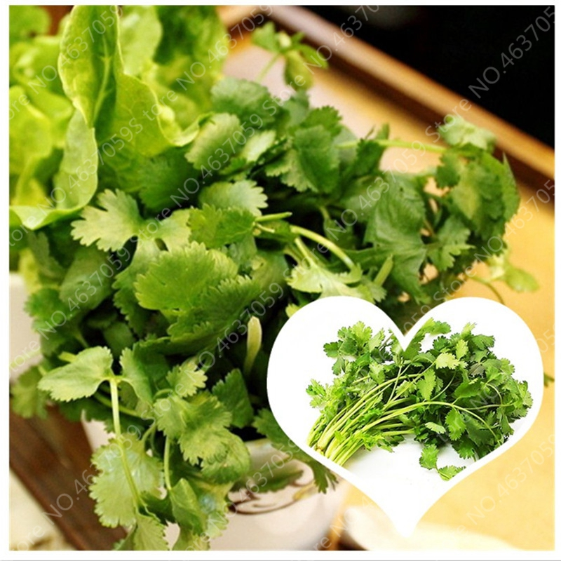 Hot Sale! 100 Pcs Caraway Bonsai Coriander Outdoor Parsley Coriandrum Sativum Healthy Potted Juicy Vegetables Garden Supplies