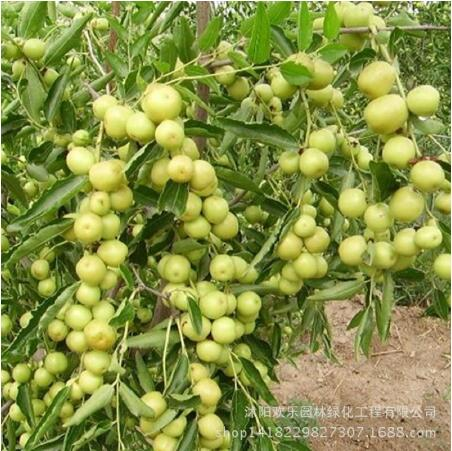 Ziziphus Jujube Bonsai Very Sweet Healthy Red Organic Jujube Plant Bonsai Fruit For DIY Home Garden 10pcs
