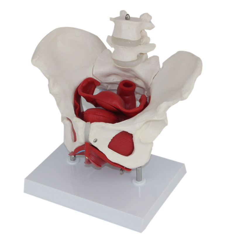 Heymodel Female Pelvis and Reproductive Organs Model Female Bladder Pelvic Floor Muscle Rehabilitation Medical Teaching Supplies