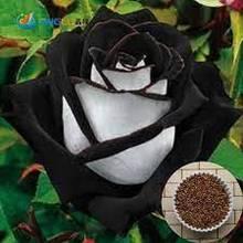 10 sztuk rzadkich czarnych białych róż darmowa wysyłka tanie tanio NONE