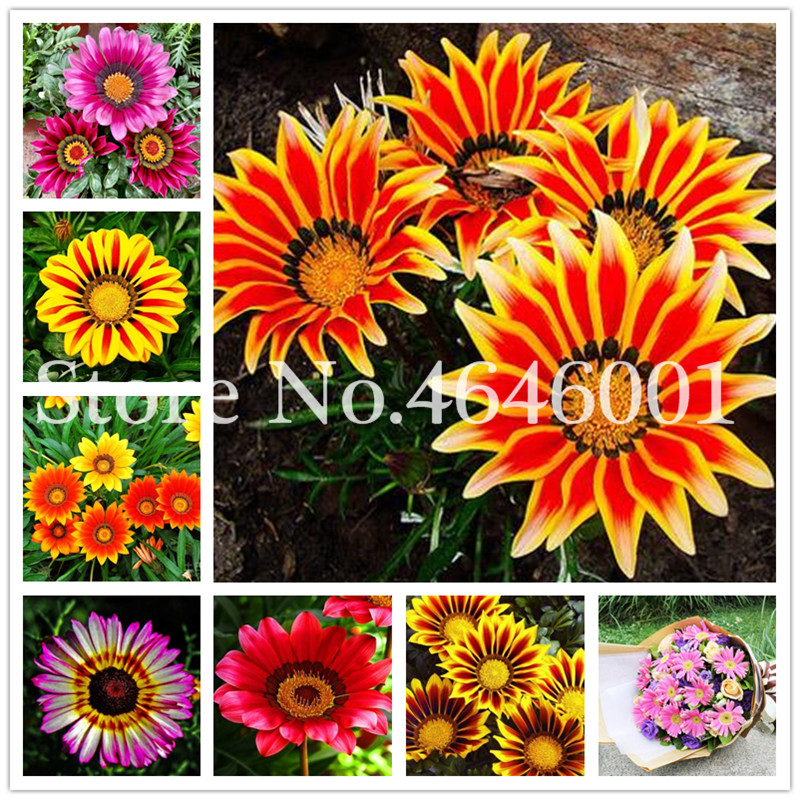 Sale! 100 Pcs Popular Gorgeous Gazania Rigens Bonsai Rare Flower Bonsai Plant Africa Bonsai For DIY Home Garden Supplies Bonsai