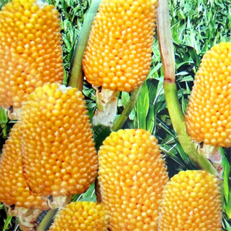 Pineapple Corn 20