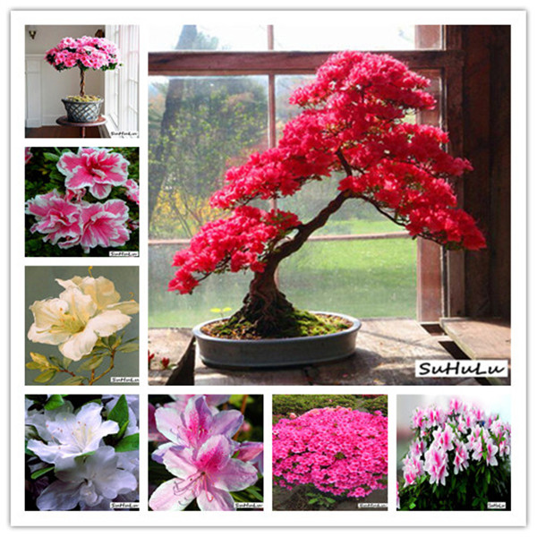 100 Pcs/bag Japanese Azalea Bonsai,rhododendron Azalea,azalea Flower Bonsai Tree Seedling DIY Plant Home Garden Easy To Grow