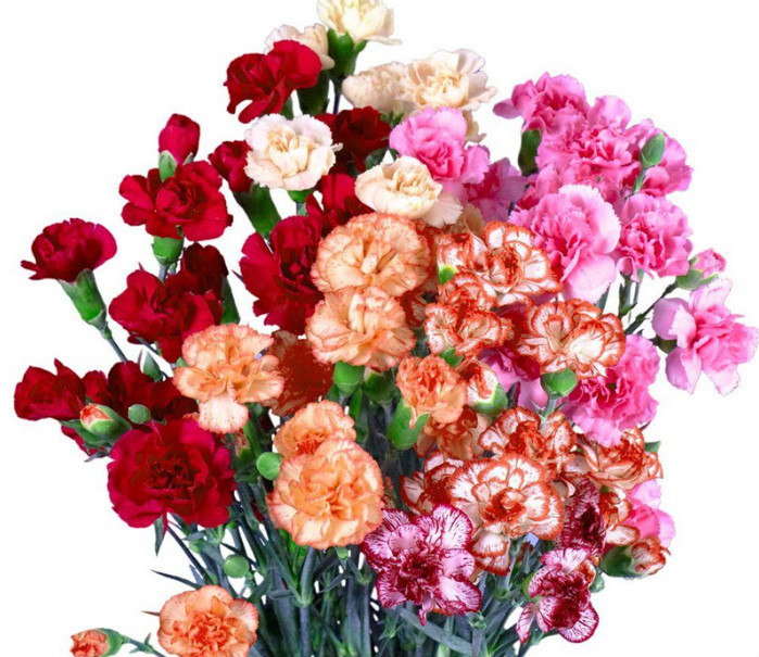 Carnation Flower Seeds Four Seasons Flower Viewing Plants Indoor Flower Blooming Constantly Potted Garden Flower Seeds Easy