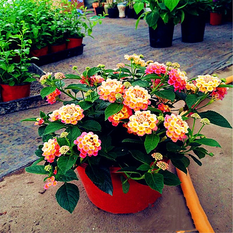 50pcs Lantana Camara Bonsai Multiple Colour Lantana Flower Perennial Indoor Flowering Pot Plants For Home Garden Bonsai Plants