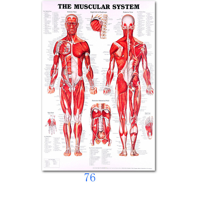Human Anatomy Muscles System Poster Print Body Map Silk Painting Wall Picture/_ti