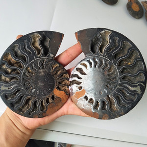 A pair conch slices sNatural black iron ore sea shells were fossilized mineral specimens feng shui shell conchas de mar