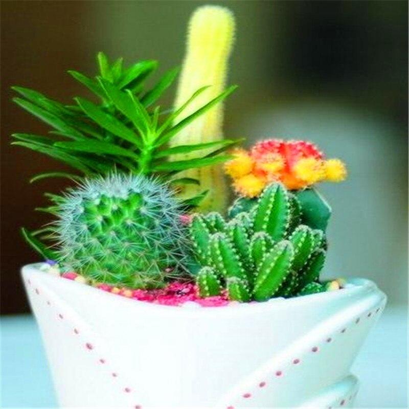 Promotion! 200pcs Rare Cactus Plant Japan Best Selling Succulent Flower Bonsai Plant Indoor Plant Home And Garden Decoration