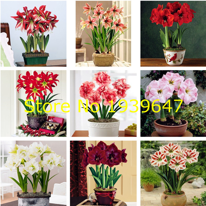 100pcs Amaryllis Bonsai Plants Hippeastrum Amaryllis Bonsai Chinese Cheap Flower Potted Plants Garden Flower Balcony