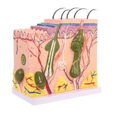 лучшая цена Human Skin Model Block Enlarged Plastic Anatomical Anatomy Medical Teaching Tool