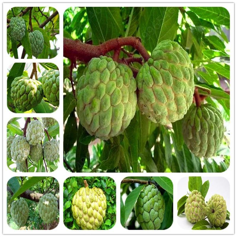 5pcs Bonsai Soursop Fruit Graviola Annona Muricata Plant MultiColor Sweetsop Delicious Sweet Fruit Sugar Apple Plant Home Garden