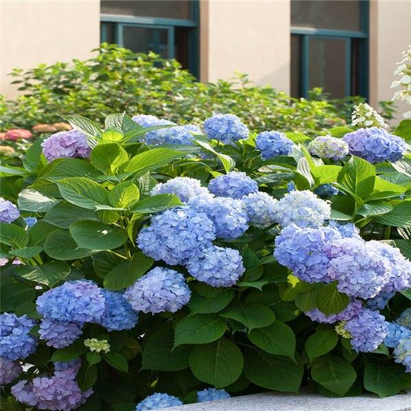 Bonsai 20 Pcs Multiple Color Choice Hydrangea Bonsai Perennial Flower Hydrangea Balcony Ornamental Garden Decoration