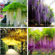 Plant Bath Salts Wisteria Flower Essence 100Pcs XZZ-69