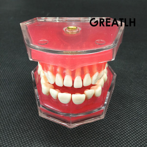 Image 1 - Dental Studie Lehre Modell Standard Modell Abnehmbare Zähne Weichen Gum ERWACHSENE TYPODONT Modell