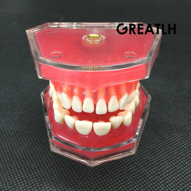 Dental Studie Lehre Modell Standard Modell Abnehmbare Zähne Weichen Gum ERWACHSENE TYPODONT Modell