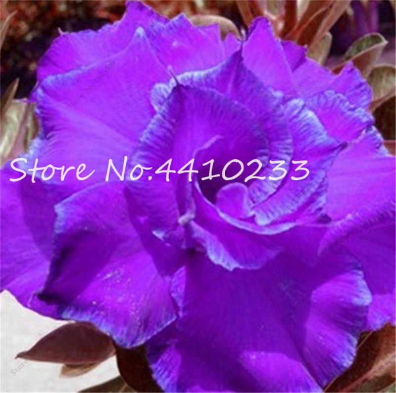 100% Vero Adenium Obesum Bonsai Esotico Desert Rose Fiori Balcone Desert-Rosa Bonsai Multicolore Petali di Piante Grasse Albero di 5 Pcs