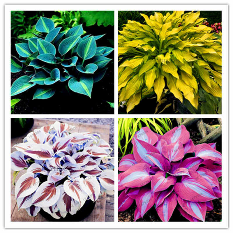 Plantas flores sales de baño Lovely Hosta Essence 100 Uds AN-ZZ-04-100