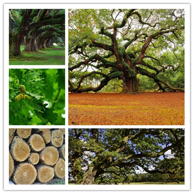 5pcs   Red Oak Tree  Quercus Alba Shade Acorn  Of Perennial Garden For Garden To Give Decoration