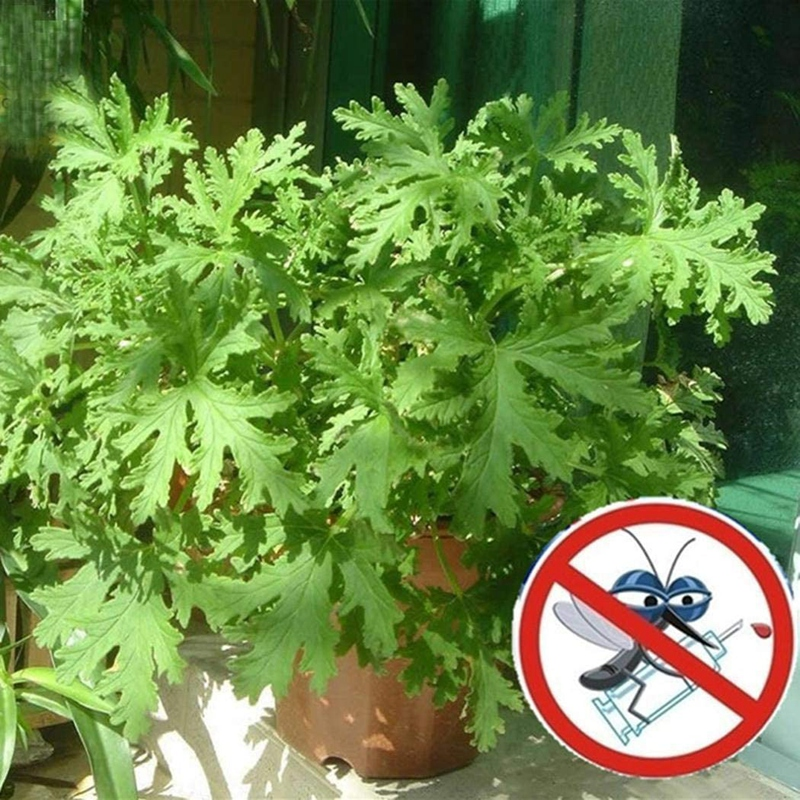 Lioder Citronella Plant Seeds Mozzie Buster Sweet Grass Mosquito Repellent Lemon Geranium Seeds 100