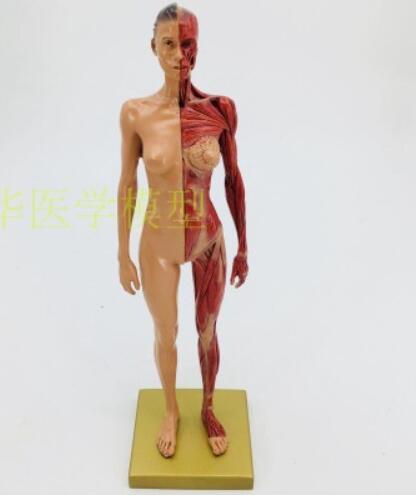 Art CG peinture et sculpture enseignement de 30cm art résine musculo-squelettique anatomie corps humain modèle structure