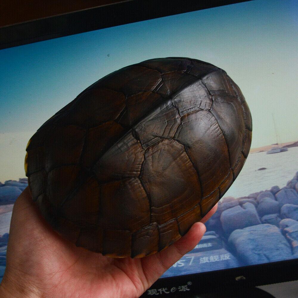 espécime tartaruga escudo, taxidermia 17-20 cm
