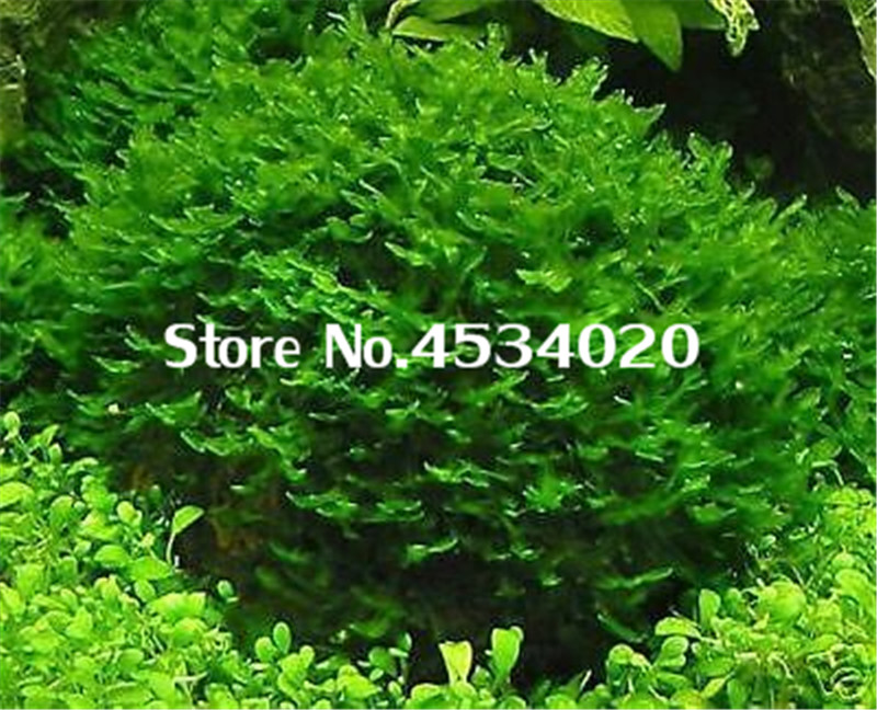 1000 Pcs Rare Aquarium Planter Java Moss Grass Bonsai Raros Gifts Plants Aquario Fish Tank Aquatic For Home Garden Decoration