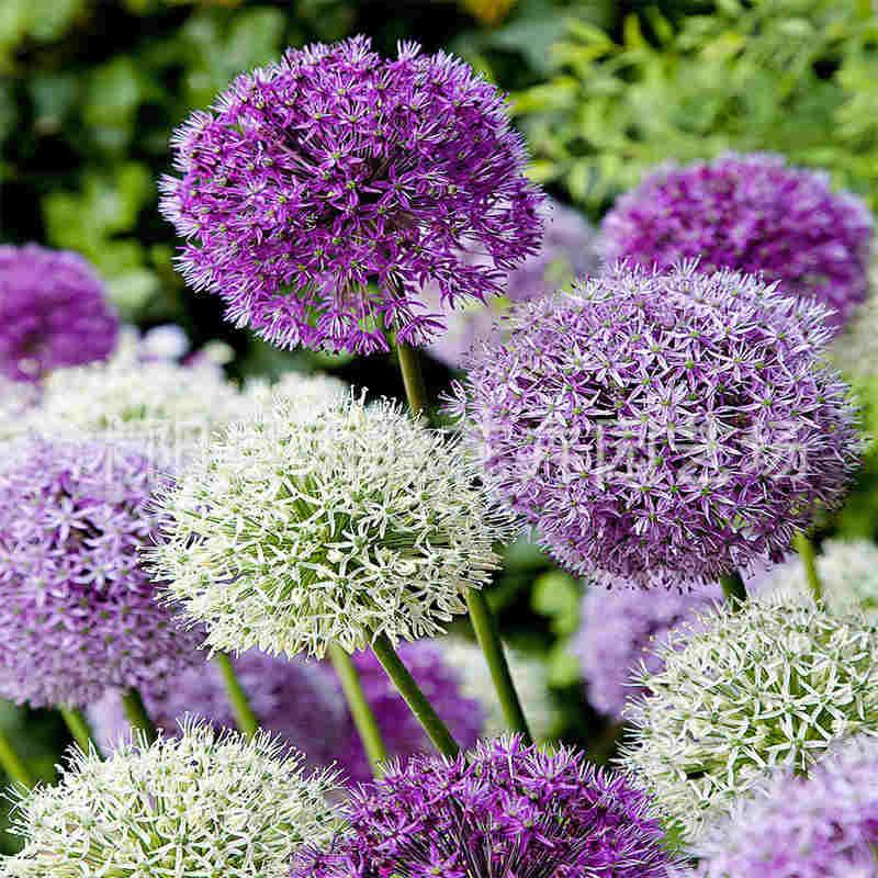 Seed Allium Scallion Garden Ornamental Flower Allium Scallion Seed Allium Giganteum 20 Seeds