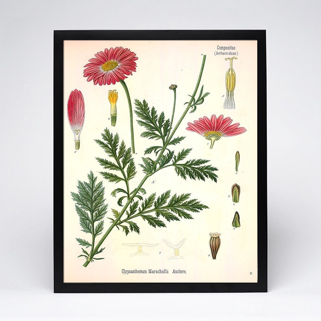 Aster Botanical Garden Decor Vintage Botanical Print Plante Botanical Wall Art Medical Poster Gift Idea Birthday(No Frame)