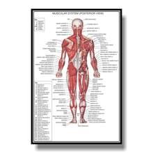 Hd fotos conjunto de poster anatômico, muscular, esquelético, digestivo, respiratório, circulatório, endócrino, linfático, sistema nervoso