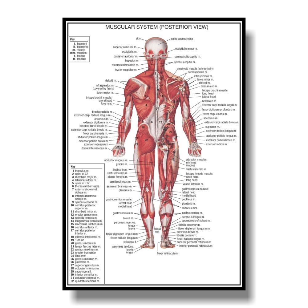 Spine Back Muscle Anatomy Poster Medical Educational Chart