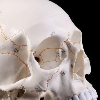 Modelo de cráneo humano de tamaño real, material de enseñanza de anatomía anatómica, material didáctico para estudiar cabeza de esqueleto