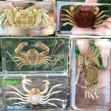 Explore-Instrument School-Biology Specimen Teaching-Supplies Resin Educational Crab Clear