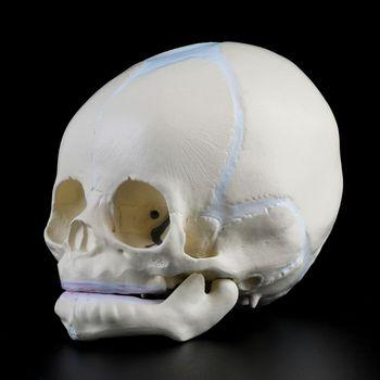 1: 1 Human Fetal Baby Infant Medical Skull Anatomical Skeleton Model Teaching Supplies for Medical Science Y51A 12316 cmam tf05 human ilium skeleton orthopaedic training model medical science educational teaching anatomical models