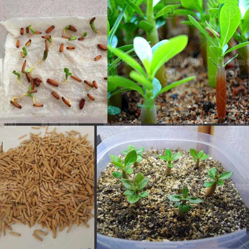 Desert Rose Bonsai Misto Desert Rose Fiore Bonsai Piante Adenium obesum Bonsai Fiori Vero Al 100% Fresco Seedsplants Facile Crescere