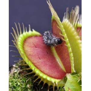 10 Pieces Fly Trap Venus Carnivore Flower Free Shipping