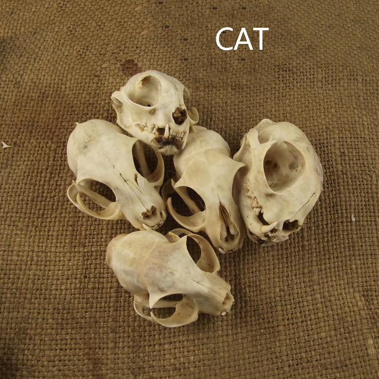 Aqumotic Cat Bones Decor 1pc Animal Cat Skull Real Bone Health Teeth Dental Naturally Dried Good Haunted House Decoration