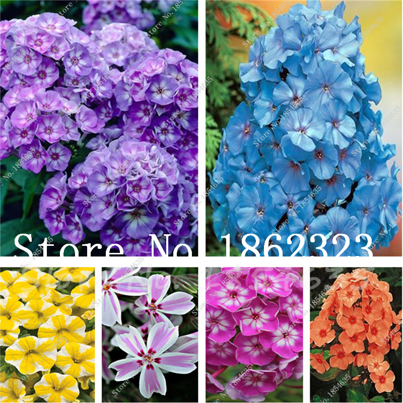 Buy Phlox Flower Semente 100 Pcs Bonsai Plant Phlox Flower Phlox Drummondii Light Up Your Personal Home Garden