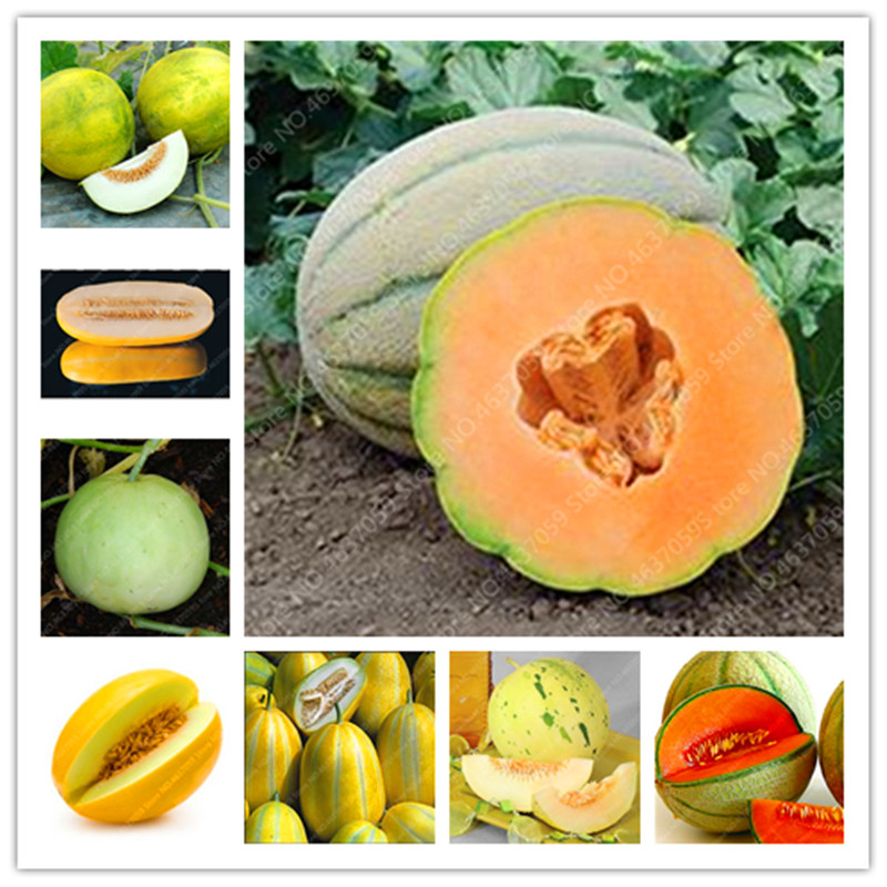 20 Pcs Japan Fruit Cantaloupe Melon Original Superior Honey Dew Green Fresh Fruit Delicious Muskmelon Bonsai Potted Flower Plant