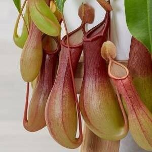 10 Pcs Carnivorous Fly Flower Free Shipping