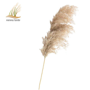 pampas grass decor plants home wedding decor dried flowers bunch feather flowers natural phragmites tall 20-22'(China)