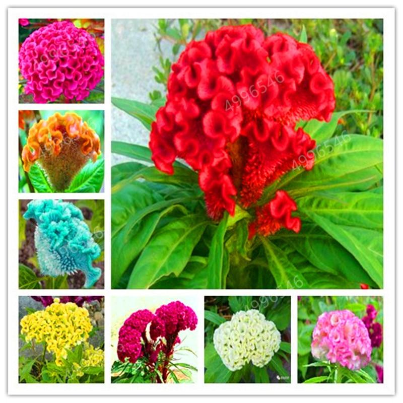 200 Pcs Flamingo Cockscomb Bonsai Flower Celosia Cristata Potted Plants For Diy Home & Garden Ornamental Plant
