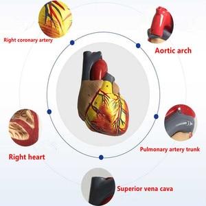Image 2 - אדם לב אנטומיים האנטומיה מודל רפואי הקרביים Emulational איבר מודלים הוראת מדע צעצוע איידס