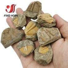 Натуральный трилобит хвост окаменелый Коралл брахиопод и Conchostraca трилобиты Корона насекомое хвост окаменелый камень обучения