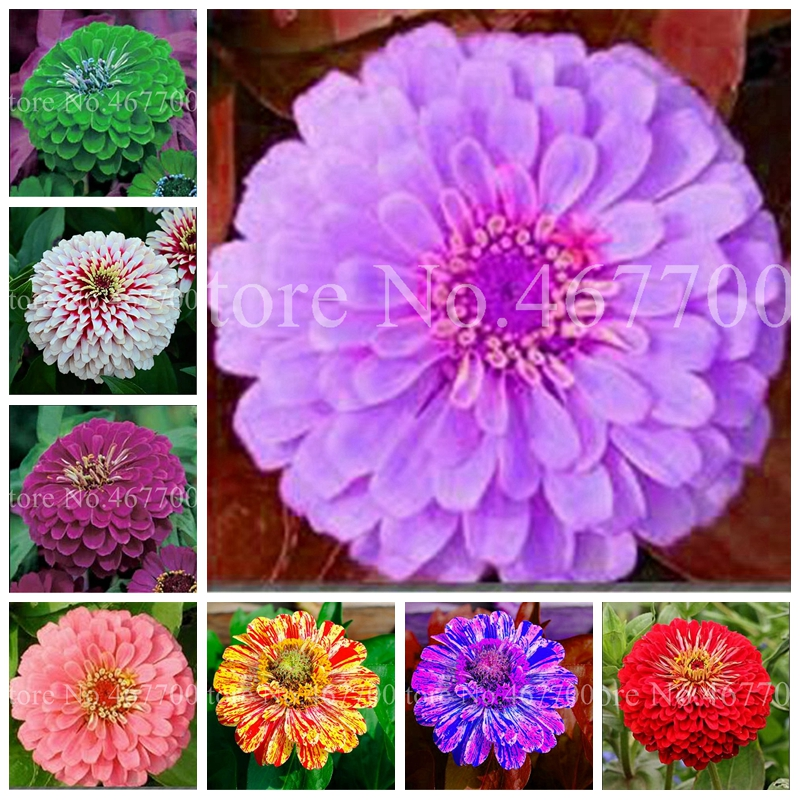 100 pcs/ bag Mixed Double Zinnia Bonsai Mixed Colors Chrysanthemum Flower Potted Plants for Home Garden Planting Easy to Grow