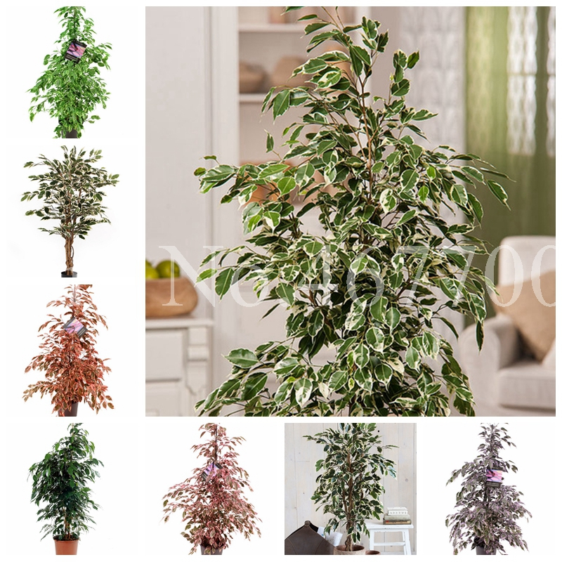 10 Pcs Mini Ficus Banyan Tree Bonsai Forest Shrub Fast Growing Garden Home Natural Growth Tropical Ornaments Plants Easy Grow