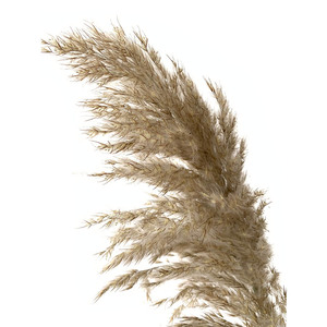 Image 2 - 20 pcs Natural Dried Pampas Grass Phragmites Communis,Wedding Flower Bunch 50 55 cm Tall for Home Decor Rated dried flowers