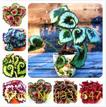 100pcs / Bag Beautiful Begonia Bonsai, Mixed Begonia Begonia Flower Potted Bonsai Rare Plants For Balcony Garden Coleus
