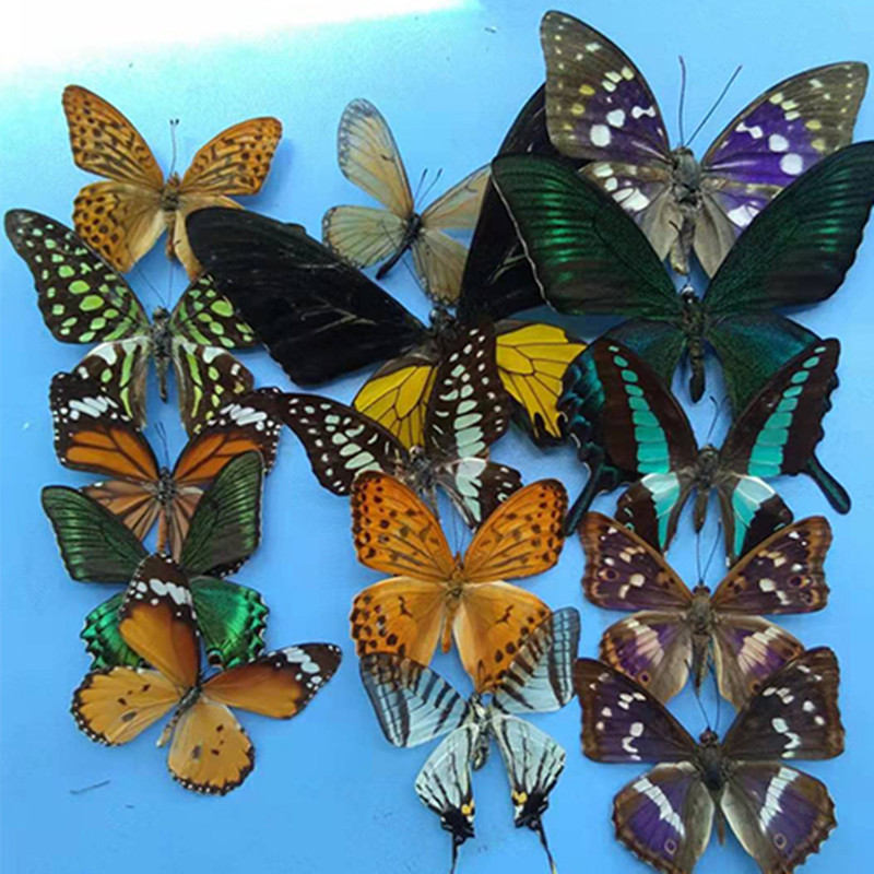 5 pieces Real Butterfly Specimens random