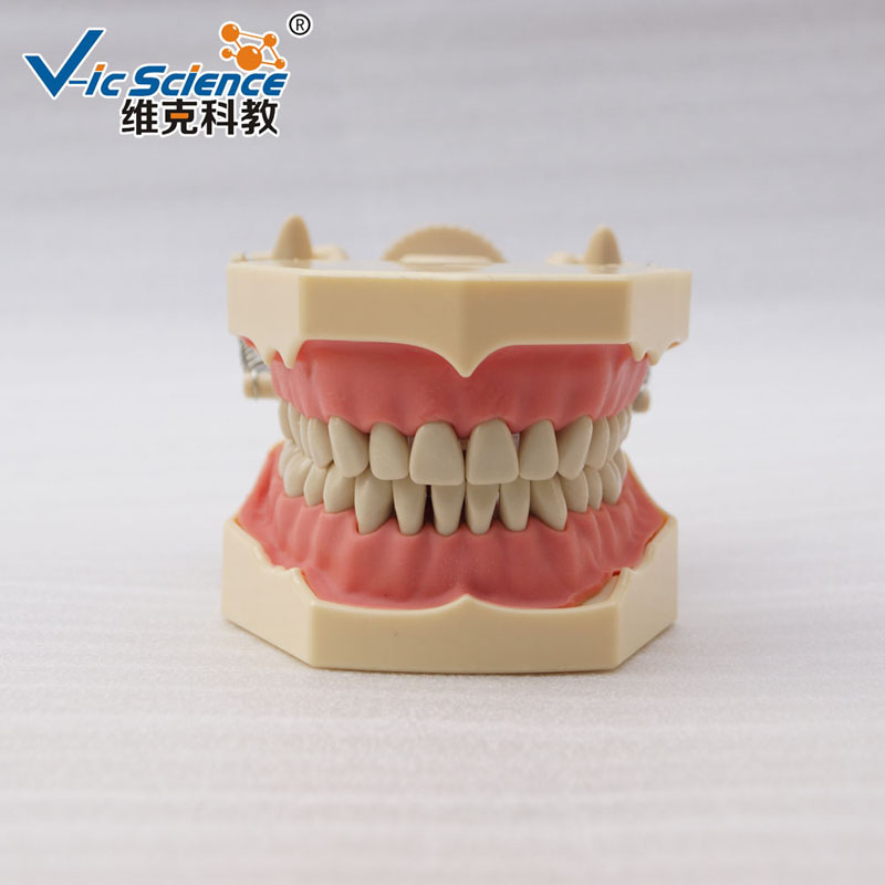 New High imitation Frasaco Model with DP Plastic Articulator